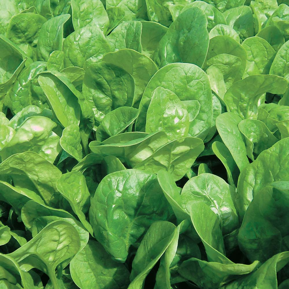 Spinach-organic  Spinach